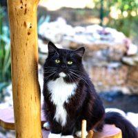 Han sur son arbre à chat - Yeux vert