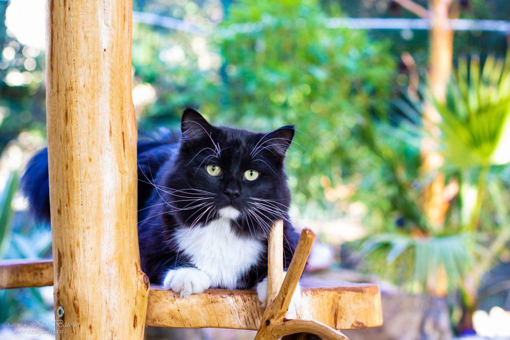Han élevage de chats sibériens Kot Baioun