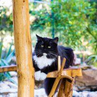Han sur son arbre à chat regarde le photographe