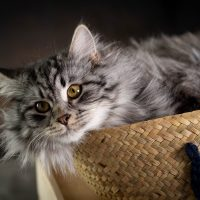 Kalinka élevage de chats sibériens Kot Baioun