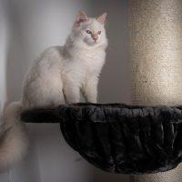 Siropshik sur son arbre a chat