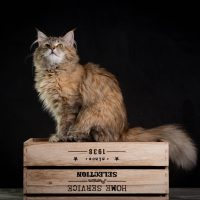Sunshine élevage de chats sibériens Kot Baioun